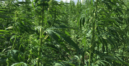 1.Growing and processing hemp